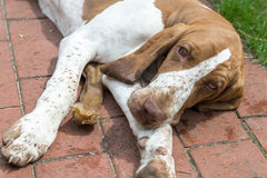 Young dog Bracco Italiano laying on a terrace Royalty Free Stock Images