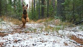 A young dog breed Airedale Terrier runs through the autumn forest covered with a thin layer of snow. The young cheerful dog of the Airedale Terrier breed runs stock video footage