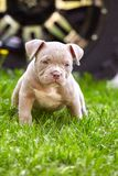 Young dog breed American Bulli close-up. Puppy Bull, beautiful little dogs running around the green grass. Mowed lawn. Copy space for text, long banner. The royalty free stock photo