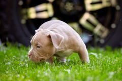 Young dog breed American Bulli close-up. Puppy Bull, beautiful little dogs running around the green grass. Mowed lawn. Copy space for text, long banner. The stock image