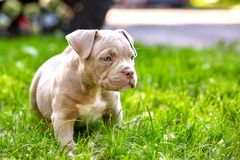 Young dog breed American Bulli close-up. Puppy Bull, beautiful little dogs running around the green grass. Mowed lawn. Copy space for text, long banner. The royalty free stock photos