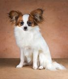 Young dog of breed papillon Royalty Free Stock Photos