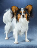 Young dog of breed papillon Stock Image
