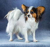 Young dog of breed papillon Stock Photography