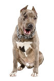Young dog breed pitbull sitting yawning Stock Images