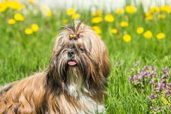 Shih Tzu dog on a background of green grass and dandelions. Young dog breed Shih Tzu sitting in a field of green grass outdoors stock photography