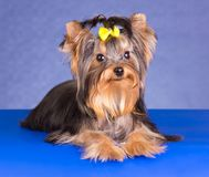 Young Dog Breed Yorkshire Terrier lying Royalty Free Stock Photo