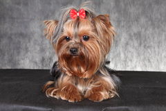 A young dog breed Yorkshire Terrier with a red bow. Photo a young dog breed Yorkshire Terrier with decoration in the form of a red bow on black is not a Royalty Free Stock Photos