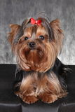 A young dog breed Yorkshire Terrier with a red bow. Yorkshire terrier face looking at camera. Puppy of the Yorkshire Terrier on th. Photo portrait a young dog Royalty Free Stock Photography