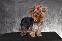 A young dog breed Yorkshire Terrier with a red bow. Photo portrait a young dog breed Yorkshire Terrier with decoration in the form of a red bow on black is not a Royalty Free Stock Image