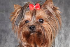 A young dog breed Yorkshire Terrier with a red bow. Puppy of the Yorkshire Terrier on the textile background. Photo portrait a young dog breed Yorkshire Terrier Royalty Free Stock Image