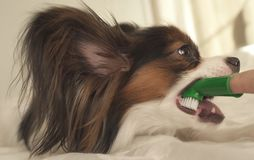 Young dog breeds Papillon Continental Toy Spaniel brushes teeth with toothbrush. Young dog breeds Papillon Continental Toy Spaniel brushes teeth with a royalty free stock photos
