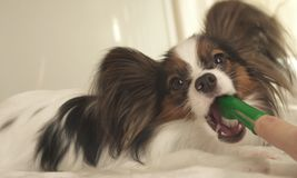 Young dog breeds Papillon Continental Toy Spaniel brushes teeth with toothbrush. Young dog breeds Papillon Continental Toy Spaniel brushes teeth with a Stock Photo