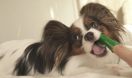 Young dog breeds Papillon Continental Toy Spaniel brushes teeth with toothbrush. Young dog breeds Papillon Continental Toy Spaniel brushes teeth with a stock photos