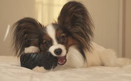Young dog breeds Papillon Continental Toy Spaniel gnaws rubber tire - a fun tire changer. Young dog breeds Papillon Continental Toy Spaniel gnaws a rubber tire Stock Photos