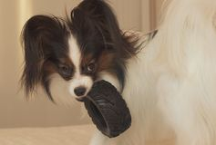 Young dog breeds Papillon Continental Toy Spaniel gnaws rubber tire - a fun tire changer. Young dog breeds Papillon Continental Toy Spaniel gnaws a rubber tire Stock Photo