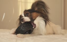 Young dog breeds Papillon Continental Toy Spaniel gnaws rubber tire - a fun tire changer. Young dog breeds Papillon Continental Toy Spaniel gnaws a rubber tire Stock Image