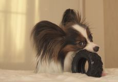 Young dog breeds Papillon Continental Toy Spaniel gnaws rubber tire - a fun tire changer. Young dog breeds Papillon Continental Toy Spaniel gnaws a rubber tire stock images