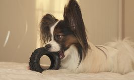 Young dog breeds Papillon Continental Toy Spaniel gnaws rubber tire - a fun tire changer. Young dog breeds Papillon Continental Toy Spaniel gnaws a rubber tire Stock Photography