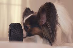 Young dog breeds Papillon Continental Toy Spaniel gnaws rubber tire - a fun tire changer. Young dog breeds Papillon Continental Toy Spaniel gnaws a rubber tire Royalty Free Stock Image