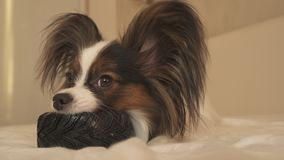 Young dog breeds Papillon Continental Toy Spaniel gnaws rubber tire - a fun tire changer. Young dog breeds Papillon Continental Toy Spaniel gnaws a rubber tire royalty free stock photo