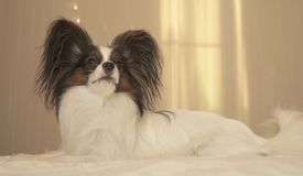 Young dog breeds Papillon Continental Toy Spaniel lies on bed. Young dog breeds Papillon Continental Toy Spaniel lies on the bed Royalty Free Stock Images