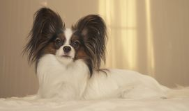 Young dog breeds Papillon Continental Toy Spaniel lies on bed. Young dog breeds Papillon Continental Toy Spaniel lies on the bed Royalty Free Stock Photography
