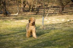 Dog briard in farm garden. Young dog briard french shepherd stand in rural farm garden on lawn in spring sunny day Royalty Free Stock Photo