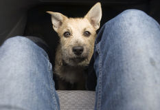 Young Dog on Car Floor Royalty Free Stock Image
