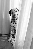 Young dog dalmata Royalty Free Stock Photo