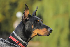 Young dog. Doberman`s gaze. It is waiting for his master Royalty Free Stock Images