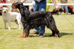 Young dog during dog show Royalty Free Stock Photos