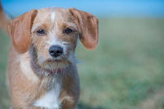 Young dog on a field. Young brown dog standing on a field and looking strait Stock Images