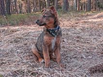 A young dog on a walk in the forest. A young dog in the forest during a walk. It has black and brown hair, bleached ears, and a white tie in front. He has wet royalty free stock photos