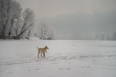 Young dog in the forest. Young dog in the winter forest Royalty Free Stock Photography