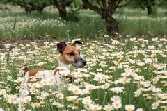 A young dog fox terier stands on a chamomile flower field. Young dog fox terier stands on a chamomile flower field Royalty Free Stock Images
