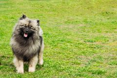 German spitz on a leash stock images