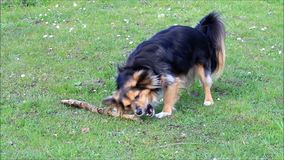 Young dog gnaws a wooden stick stock video