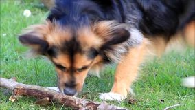 Young dog gnaws a wooden stick stock video footage