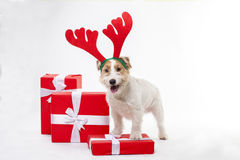 Young dog Jack Russell terrier with deer horns on his had on the white background Royalty Free Stock Images