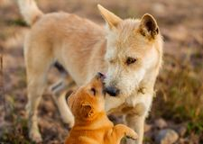 Young dog kiss adult dog stock images