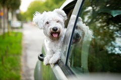 Young dog  looking out the car window. Young dog , maltese puppy looking out the car window Stock Images