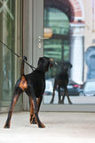 Young dog looking to mirrors door Royalty Free Stock Photos