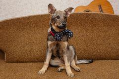 Young dog  lying on the bed. Young dog bow tie lying on the bed Stock Image