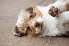 A young dog lying on the side. A puppy  Australian shepherd lying on the side Royalty Free Stock Photo