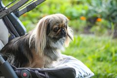 Young dog outdoors on green summer grass background. Young pekingese dog outdoors sitting in baby stroller on green summer grass background stock image