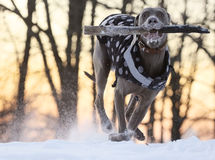 Young dog playing. Happy young dog playing outdoors in the snow. Retrieving a big stick royalty free stock photo