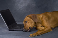 Young dog playing bored with computer. A beautiful young brown rhodesian ridgeback is using a computer. He is lying in front of the laptop and surfing in the www royalty free stock photography