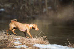 Young dog playing outdoor Royalty Free Stock Photos