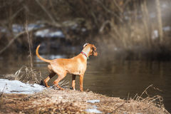 Young dog playing outdoor Royalty Free Stock Photo